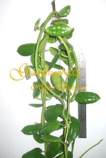 Hoya ciliata BLACK Hoya Rare Plant Blooming size 1 Pot