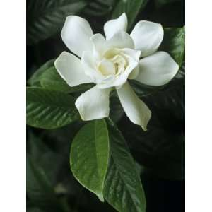 Gardenia or Cape Jasmine Flower (Gardenia Jasminoides) Photographic