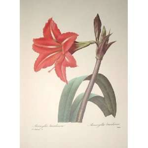 Redoute Botanical Print #4 Amaryllis Bresilienne