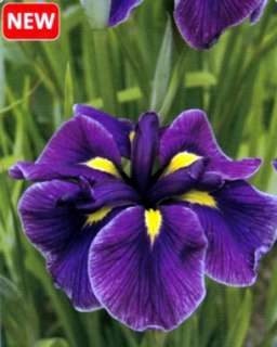 Katy Mendez Japanese Ensata Iris   Purple/Blue   NEW!   One Gallon Pot