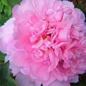 5pcs Pink Peony Flower Seeds Home Plant DIY Gardening