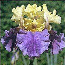 25 MIXED COLORED HYBRID TALL BEARDED IRIS