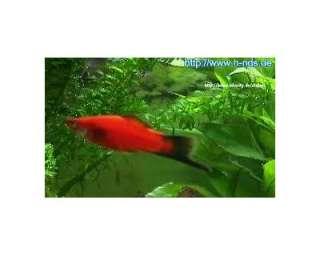 Pesci tropicali acquario acqua dolce a cosenza annunci for Pesci tropicali acqua dolce