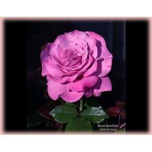 Royal Amethyst (Rosa Hybrid Tea)   Bare Root Rose Patio
